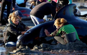 Volunteers attend to some of the hundreds of stranded pilot whales still alive. (REUTERS/Anthony Phelps