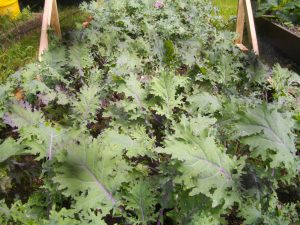 Russian Kale growing well in a raised bed at Wernlwyd - but you won't find it growing at the White House.